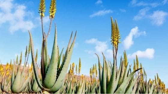 Everything about Aloe Vera